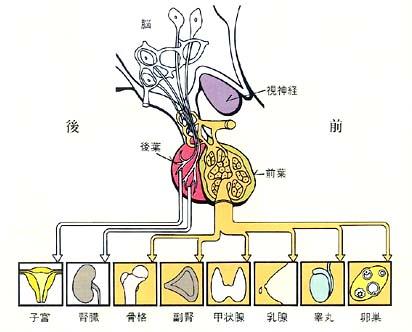 下 垂体 後葉 脳